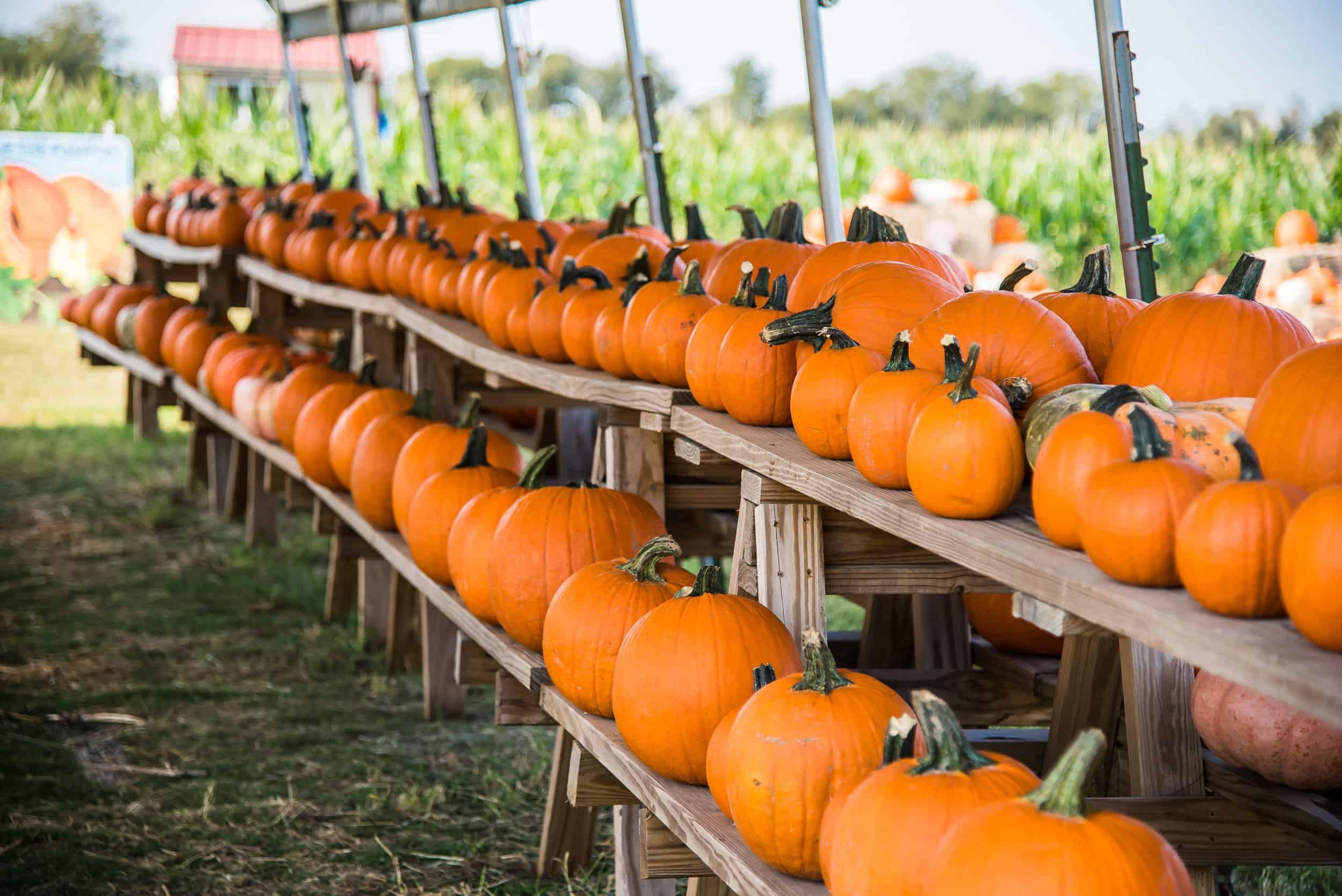 Row of Pumpkins at Barton Hill Farms